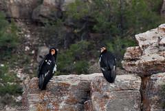 California Condors 22 and 16 at the Grand Canyon (Matt McNulty) Tags: grandcanyon californiacondor gymnogypscalifornianus