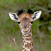 Funny Face! (MAC's Wild Pixels) Tags: baby nairobi young giraffe nairobinationalpark nairobikenya specanimal specanimalphotooftheday bestofanimals goldwildlife fabuleuse coppercloudsilvernsun naturesgreenpeace mothernaturesgreenearth allnaturesparadise amazingwildlifephotography allofnatureswildlifelevel1 allofnatureswildlifelevel2 allofnatureswildlifelevel3 allofnatureswildlifelevel4 allofnatureswildlifelevel5 allofnatureswildlifelevel8 allofnatureswildlifelevel6 allofnatureswildlifelevel7 allofnatureswildlifelevel9 macswildpixels