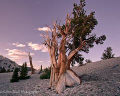 Ancient Bristlecone With Evening Light (Robin Black Photography) Tags: light sunset pine evening ancient grove ngc whitemountains explore goldenhour naturesbest bristlecone nationalgeographic conifer patriarch inyonationalforest explored outdoorphotographer 11000ft oldestlivingorganism canon5dmarkii robinblackphotography
