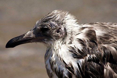 WET (YOUNG SEAGULL)