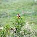 Un bel uccellino rosso nella laguna de Yahuarcocha