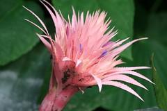 pink bromeliad (loobyloo55) Tags: flower nature canon flora sydney australia nsw floraandfauna australianwildlife canoneos400d thebotanicalgardenssydney