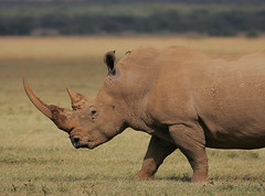Grassland Giant! (Rainbirder) Tags: kenya whiterhinoceros lakenakuru ceratotheriumsimum rainbirder grassrhonoceros