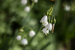 Clochettes (G@uthierB) Tags: morning sunlight white flower green fleur fleurs 50mm bokeh perspective bordeaux naturallight vert f18 blanche parc matin lumirenaturelle bordelais jardinpublic