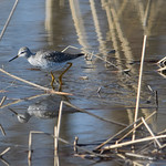 Lesser-Yellow-Legs(i-think) thumbnail