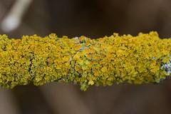 Lichen (Nano Second Artist) Tags: nature nikon sigma lichen 150mm d3100 uploaded:by=flickrmobile flickriosapp:filter=nofilter