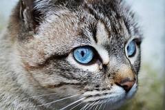 Giorgia  (elisainvernizzi) Tags: eye animal cat eyes gatto whitecat primopiano blueyes occhiblu