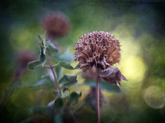 Monarda (Anne Worner) Tags: blur flower color texture leaves closeup lensbaby garden flora bokeh olympus seedhead layers monarda goldenhour shallowdof earlymorninglight seeding e620 on1software sweet35 anneworner