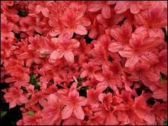 Azalea (ninin 50) Tags: nature azalea rosso ninin ilmiogiardino