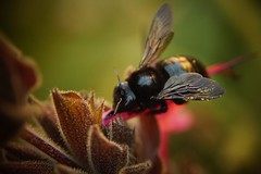carpenter bee (Team Kweeper) Tags: flower nature garden insect backyard pollen pollinate hymenoptera pollinator