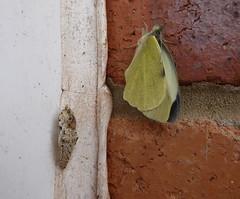 Large White, Pieris brassicae (vietnamvera) Tags: butterfly chrysalis largewhite pieridae pierisbrassicae ukbutterflies