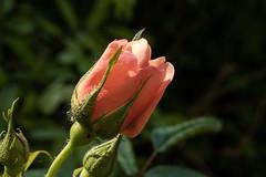 Die erste Rosenknospe des Jahres - The first opening rose bud of the year in our garden (riesebusch) Tags: berlin garten marzahn
