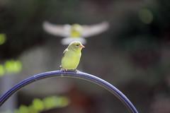 Goldfinch with Goldfinch Halo (rgdaniel) Tags: bird birds yellow goldfinch interestingness294 i500