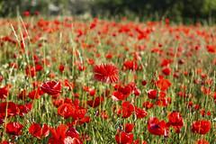 Amapolas (juanda021282) Tags: flores primavera campo papaver amapolas amapola rhoeas valdemoro