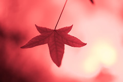 consumed by light (keith midson) Tags: autumn red fall vintage lens leaf filter soviet jupiter 135mm 37a