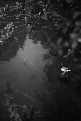 mallard (simoncini.nicola) Tags: blackandwhite nature monochrome leaves dark landscape 50mm noir kodak bokeh goth spell f2 enchanted schneider retina kreuznach iiic