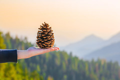 I Pine for You (Alex Zhu | Photography) Tags: wood autumn sunset orange brown mountain mountains nature closeup pine forest season holding pattern hand natural cone hiking top background object seasonal decoration seed dry hike ornament cedar fir pinecone decorate hold element coniferous