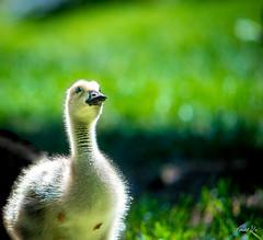 Yes Mom  (T.ye) Tags: baby bird animal backlight bokeh wildlife canadian goose tone