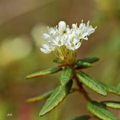 Th du Labrador / Bog Labrador Tea (alain.maire) Tags: canada nature quebec ericaceae bog tourbire ledumgroenlandicum thdulabrador boglabradortea rhododendrongroenlandicum