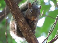 Esquilo (cariselazari) Tags: nature animal squirrel natureza esquilo arlivre roedor