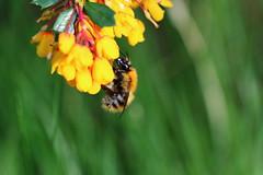 (bilska.anna) Tags: uk flower macro nature canon insect spring wildlife bee nectar pollen britishwildlife springwatch uknature ukwildlife flickrnature flickrmacro natureuk flickrwildlife wildlifeuk ukinsect canon7dmkii ukbee beeuk