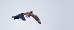 3/5 Common Buzzard & Carrion Crow (abritinquint Natural Photography) Tags: wild bird nature germany fly fight nikon natural wildlife flight attack 300mm telephoto crow carrion buzzard nikkor f4 vogel pf tc14eii 300mmf4 commonbuzzard teleconvertor bussard d7200 pfedvr