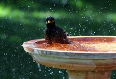 Indian Myna bath (StaceyA42) Tags: water bath indian mynah