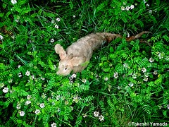 Dr. Takeshi Yamada and Seara (Coney Island Sea Rabbit) in the Pine Barrens of New Jersey during the Jersey Devil Expedition on June 20, 2016. flowers.  20150620 028=-6060== (searabbits23) Tags: ny newyork sexy celebrity rabbit art hat fashion animal brooklyn asian coneyisland japanese star tv google king artist dragon god vampire manhattan famous gothic goth uma ufo pop taxidermy vogue cnn tuxedo bikini tophat unitednations playboy entertainer oddities genius mermaid amc mardigras salvadordali performer unicorn billclinton seamonster billgates aol vangogh curiosities sideshow jeffkoons globalwarming mart magician takashimurakami pablopicasso steampunk damienhirst cryptozoology freakshow leonardodavinci seara immortalized takeshiyamada roguetaxidermy searabbit barrackobama ladygaga climategate  manwithrabbit