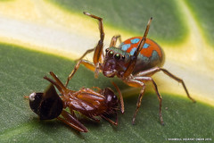 Siler Semiglaucus  (Shamsul Hidayat Omar) Tags: female lens photography spider jumping nikon ant bio 55mm malaysia jumper prey omar selangor biodiversity siler hidayat micronikkor salticidae greatphotographers shamsul semiglaucus kepelbagaian d800e