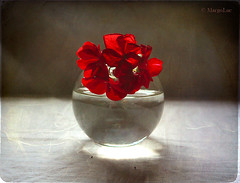***** (MargoLuc) Tags: flowers light red stilllife white texture window water glass backlight reflections table petals shadows natural vase geranium skeletalmess