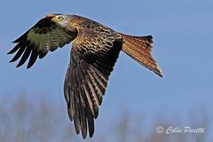 Climbing red kite15 (milvus milvus) (Colin Pacitti) Tags: kite bird animal wales outdoor ngc npc raptor birdofprey redkite rhayader milvusmilvus wildbird coth eiap fantasticwildlife coth5 birdperfect hennysanimals sunrays5