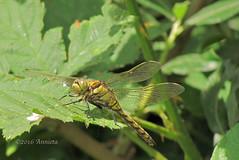 Gewone Oeverlibel ( Annieta  - on/off) Tags: nature netherlands juni spring dragonfly ngc nederland natuur npc lente allrightsreserved 2016 krimpenerwaard libel gewoneoeverlibel annieta usingthispicturewithoutpermissionisillegal canonpowershotsx30is