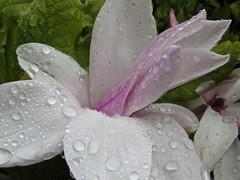 IMG_1364 (Andy panomaniacanonymous) Tags: ddd fff flower magnolia mmm raindrops rrr thorpperrowarboretum yorkshire