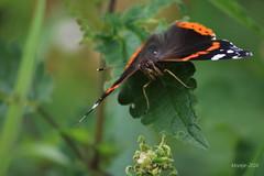 IMG_0285_kw - Atalanta - Vanessa atalanta (Monique van Gompel) Tags: butterfly aurelia atalanta vlinder vanessaatalanta dagvlinder