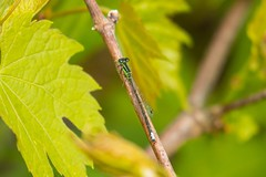 7K8A1626 (rpealit) Tags: mountain male nature scenery wildlife management area sparta eastern damselfly forktail