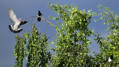 ciel (Yasmine Hens) Tags: blue sky green nature birds pie nikon europa flickr belgium pigeon ngc ciel oiseaux namur hens yasmine threebirds wallonie iamflickr flickrunitedaward nikond5500 hensyasmine