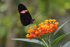 Postman Butterfly (Heliconius melpomene) (Seventh Heaven Photography) Tags: macro animal butterfly insect wildlife postman heliconiusmelpomene melpomene nikond3200 longwing heliconius