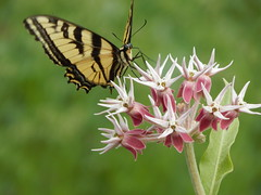 Milkweed and Swallowtail (Pictoscribe) Tags: bike june butterfly river milk weed oliver 21 path columbia british along swallowtail 2016 pictoscribe