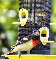 Grosbeak (CCphotoworks) Tags: nature birds outdoors bokeh wildlife grosbeak rosebreastedgrosbeak