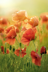 Red Poppy Flowers (Taras L) Tags: blue red summer sky sunlight plant flower color green nature floral field grass leaves sunshine vertical closeup rural season botanical outside countryside leaf flora close natural blossom outdoor background harvest grow meadow seed fresh petal poppy poppies land bloom summertime bud botany wildflower sunbeam tranquil isolated papaver blooming idyllicscenics