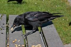 Stealing a Nut (Stirrett6) Tags: bird crow corvid perching