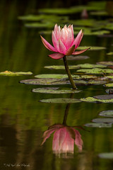 """Reflections"" A water lily at the Biltmore Estate - Judy Royal Glenn Photography (Judy Royal Glenn) Tags: flower reflection nature water reflections nikon waterlily biltmore lilypad naturephotography photochallenge flowerphotos flowerphotography thebiltmoreestate thebiltmorehouse judyroyalglennphotography judyroyalglenn athensphotographyguild"