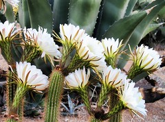yesterday morning's one day bloom (shadowplay) Tags: ranch cactus bloom cereus springsummer onedaybloom