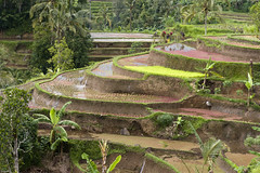 DHF_2849 (dholth) Tags: bali indonesia sawah paddifields