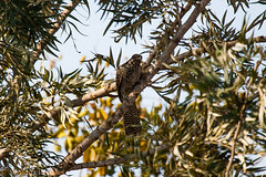 IMG_7006L4 (Sharad Medhavi) Tags: bird canoneod50d birdsandbeesoflakeshorehomes
