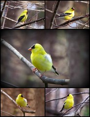 Goldfinch Fever (Lin_Woods) Tags: birds yellow spring goldfinch finch finches