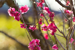 Glory Glory Haru Haru (Fesapo) Tags: pink flowers blue light sky color colour nature japan canon prime spring colorful pretty dof bokeh blossoms 7d shimane colourful haru izumo plumblossoms     135mmf2l baika