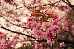 HBW ~ Gorgeous Spring (w.mekwi photography) Tags: park pink flower dof bokeh dumbarton hbw bokehlicious nikkor35mmf18 bokehwednesday nikond7000 wmekwiphotography mekwicom