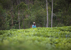 Tea plantation Cyamudongo area - Rwanda (Eric Lafforgue) Tags: africa montagne outdoors highlands tea altitude rwanda afrika commonwealth oneperson teaplantation afrique eastafrica ruralscene centralafrica 2194 kinyarwanda ruanda afriquecentrale  hautesterres    republicofrwanda   ruandesa plantationdethe