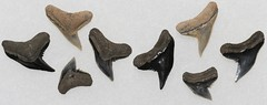 Tiger Shark Teeth (Fossiltoothpic) Tags: macro animal animals canon tooth fossil shark teeth extinct fossils sharkteeth sharktooth 100mmmacro tigershark miocene serrations galeocerdo canoneos7d fossilsharktooth fossiltooth fossilteeth galeocerdoaduncus galeocerdocontortus